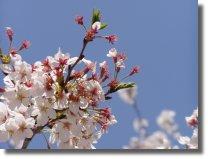 法華経寺の桜2005