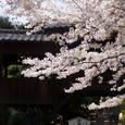 11. 祖師堂裏の桜