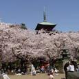 14. 五重塔と桜